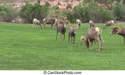 Desert Bighorn Sheep Rut - a desert bighorn ram chases a ewe...