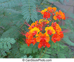 Desert Blooms - Red Bird of Paradise Blossoms- red yellow...