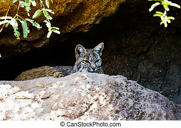 Desert Bobcat Hiding from prey