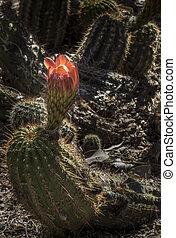 Desert Cactus Bloom