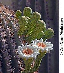Desert cactus Flower - desert cactus flowers on a saguaro...