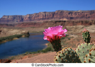 desert cactus flower - pink prickly pear cactus flower at ...