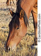 desert., cavalo selvagem, nevada, mustang