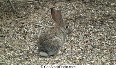 Desert Cottontail Rabbit In Sonoran Desert