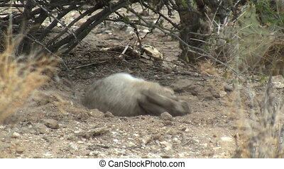 Desert Cottontail Rabbit Taking Dust Bath
