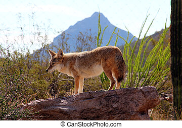 Desert Coyote - Coyote standing lookout on a rock