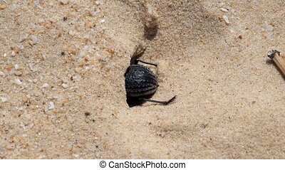 Desert darkling beetle very quickly digs a shelter in the...