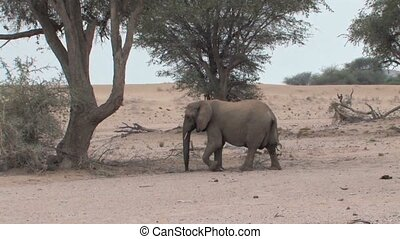 Desert Elephants in Namibia