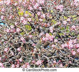 Desert Flower, adenium obesum ,Bonsai tree