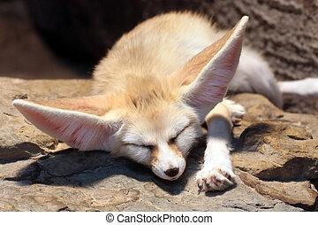 Desert Fox - This image shows a sleeping fennec