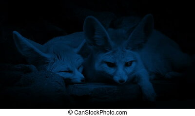 Desert Foxes In Den At Night - Couple of foxes resting on...