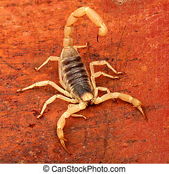 Desert Hairy Scorpion. - Desert Hairy Scorpion (Hadrurus...