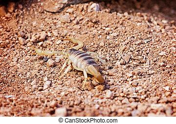 Desert Hairy Scorpion On Land