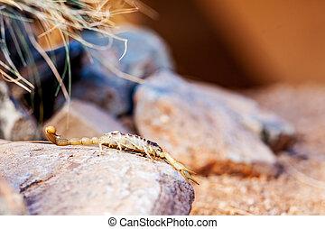 Desert Hairy Scorpion On Rock