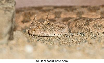 Desert horned viper portrait - Desert horned viper close-up...