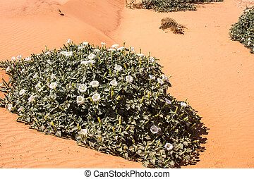 Desert Jimson Weed - Datura plant in a sandy wash in the ...