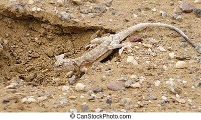 Desert lizard in a hole - A steady close up shot of a lizard...