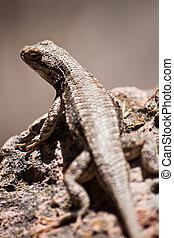Desert Lizard on Rock in New Mexico