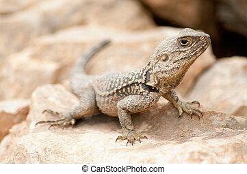Desert Lizard laying on a rock