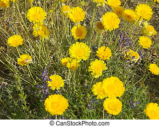 desert marigold flowers growing in organ pipe cactus national monument, arizona