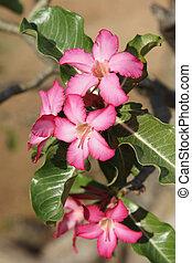 Desert-rose, Ethiopia, Africa - Desert-rose in the south of ...