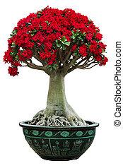 desert rose flower bonsai in flower pot