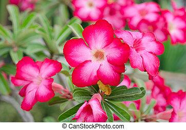 Desert rose flowers