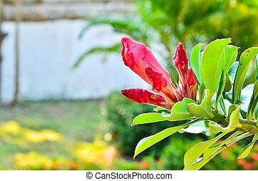 Desert Rose-Impala Lily- Mock Azalea