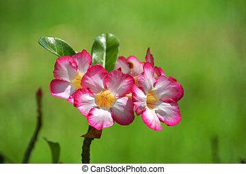 Desert Rose, Impala Lily, Mock Azalea.