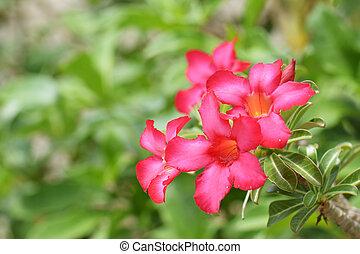 Desert Rose, Impala Lily, Mock Azalea Flowers