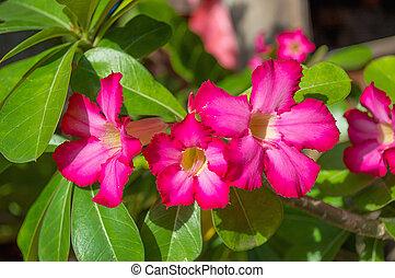 Desert Rose, Impala Lily, Mock Azalea in garden