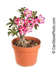 Desert Rose Impala Lily Mock Azalea