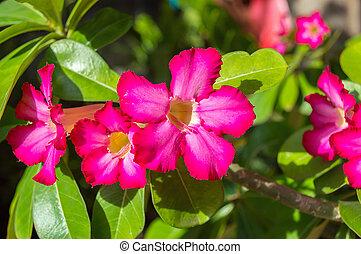 Desert Rose, Impala Lily, Mock Azalea nature background