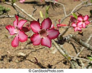 Desert rose in bloom