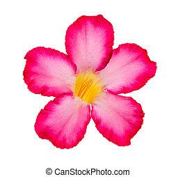 Desert Rose isolated on white background.