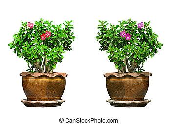 Desert Rose on tree in pot on white background