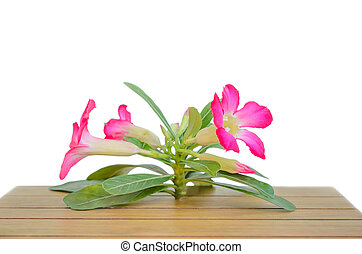 Desert Rose on wood table with white background