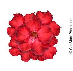 Desert Rose or Impala Lily or Mock Azalea isolate on white...