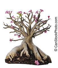 Desert rose or Ping Bignonia flower tree