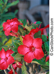 Desert rose - Red flower