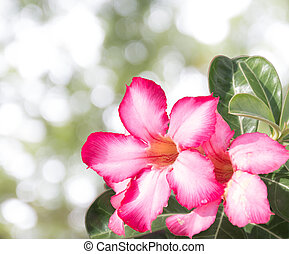desert rose with green leafs