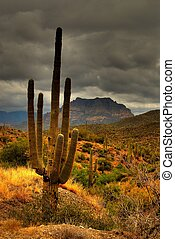 Desert Saguaro 81 - Saguaro cactus in the winter Arizona...