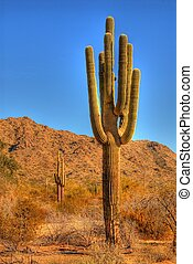 Desert Saguaro - Saguaro cactus in the winter Arizona desert...