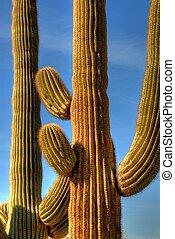Desert Saguaro - Saguaro cactus in the winter Arizona desert
