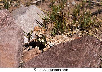 Desert Short Horned Lizard