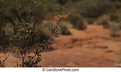 Desert shrub plant, King's Canyon Park, Australia - Close-up...