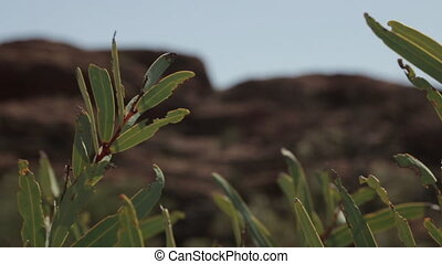 Desert shrub plant leaves damaged by insects, NT - Extreme...