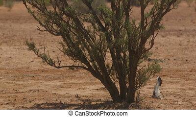 Desert shrubs and horizon hill, Outback, Australia - Wide...
