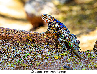 Desert Spiny Lizard in Arizona