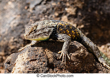 Desert Spiny Lizard on rock.